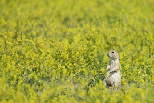 field mustard plant