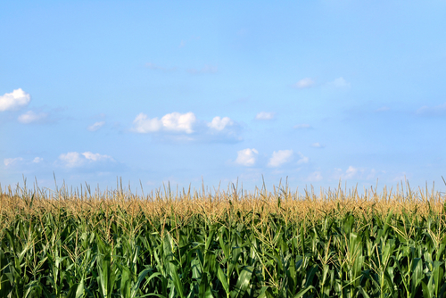 field-of-corn-in-illinois-il773.jpg