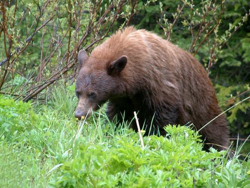 A bear in Waterton Lakes National Park.