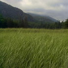 Picture - Grasslands at Sand Beach, Acadia National Park, Mt. Desert Island.