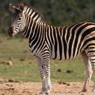 Picture - A zebra at Addo Elephant National Park.