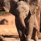 Picture - A baby elephant at Addo Elephant National Park.