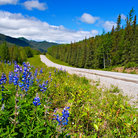 Picture - Flowers along the Alaska Highway.