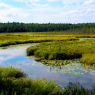 Picture - Wetlands in Algonquin Park.