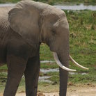 Picture - Elephant in Amboseli Park.