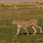 Picture - A cheeta in Amboseli National Reserve.