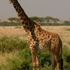 Picture - A giraff in Amboseli National Reserve.