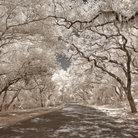 Picture - Oak trees line a road way on Amelia Island. Infrared image.