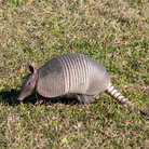 Picture - Armadillo on Amelia Island.