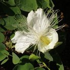 Picture - Capparis sandwichiana flower in Greenwell Ethnobotanical Garden, Hawaii.
