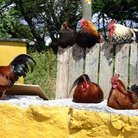 Picture - Roosters on a fence in the Aran Islands.