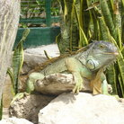 Picture - Iguana from central & south America at Ardastra Gardens Zoo.
