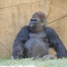 Picture - A gorilla at the Austin Zoo.