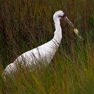Picture - A whooping crane feeding at the Aransas National Wildlife Refuge.
