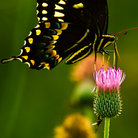 Picture - A butterfly on a thistle at the Aransas National Wildlife Refuge