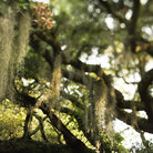 Picture - Spanish moss hanging from live oak tree on Bald Head Island.