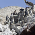 Picture - Penguins and pelicans on Islas Ballestas.
