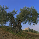 Picture - Olive tree in the countryside of Basilicata.