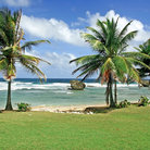 Picture - Palm trees on the coast north of Bathsheba.