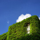 Picture - Window peaks through ivy in Beacon Hill District of Boston.