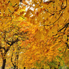 Picture - Fabulous autumn colors in Beacon Hill Park in Victoria.
