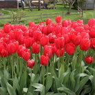Picture - Red tulips in Bellevue.