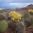 Picture - Cactus at Bighorn Canyon National Recreation Area.
