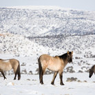 Picture - Wild horses in winter in the Bighorn Canyon.