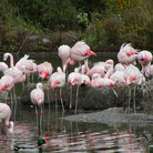 Picture - Pink flamingos in Bronx Zoo.