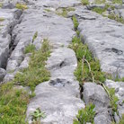 Picture - The limestone ground of Burren.