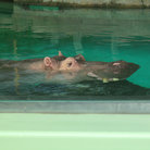 Picture - A hippopotamus in the water at the Calgary Zoo.