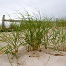Picture - Grasses in the sand of Cape Cod National Seashore, MA.