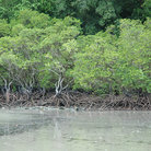 Picture - Mangroves at Cape Tribulation.