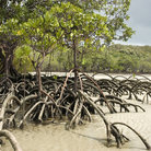 Picture - Mangroves along the shore at Cape Tribulation.