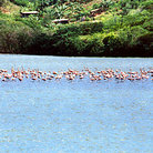 Picture - Flamingos stand in shallow waters near Carupano.