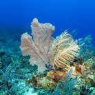Picture - A sea fan amongst coral seen while diving off Cayman Brac.
