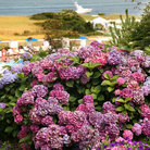 Picture - View of floral display and the ocean in Chatham on Cape Cod.