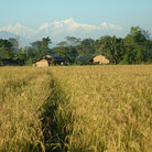 Picture - Rice field near Chitwan National Park.