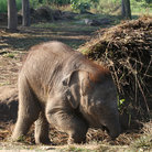 Picture - A baby elephant at a sanctuary in Chitwan National Park.