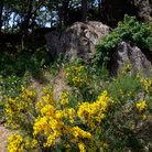 Picture - Scotch broom in Columbia River Gorge National Scenic Area.