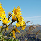 Picture - Sunflowers in Columbia River Gorge.