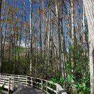 Picture - Boardwalk in Corscrew Swamp Sanctuary in Naples.