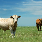 Picture - Cows in Flint Hills National Prairie.