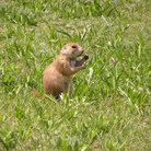 Picture - A prairie dog in Black Hills, Custer State Park.