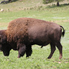 Picture - Buffalo in Custer State Park.