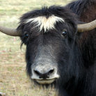 Picture - Yak on a farm at Delta Junction.