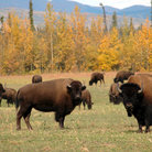 Picture - Bison at Delta Junction.