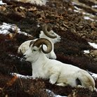 Picture - Dall rams in Denali National Park.