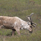Picture - Caribou in Denalit National Park.