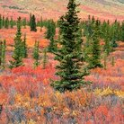 Picture - Fall colors in Denali National Park.